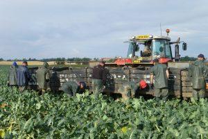 Vollegrondsgroente oogsten