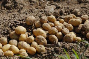 Aardappelprijzen in winkel vast, maar af boerderij ingestort