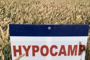 Hybride tarwe
