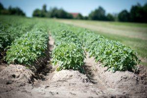 Aardappelzaad