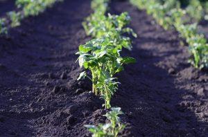 Plantenveredeling