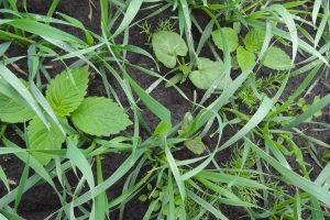 Onkruidbestrijding in zomergranen: nieuwe mogelijkheden met Pixxaro