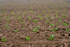 Wortelknobbelaaltjes gesignaleerd in bietenplanten
