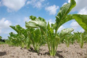Vrijlevende wortelaaltjes aangetroffen in suikerbieten
