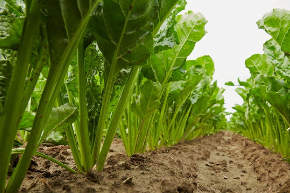 yara micronutriënten en suikerbieten