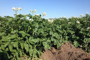 Natte zomer raakt biologische aardappeloogst