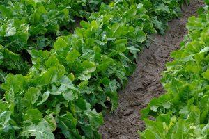 Onderzoekers maken cichoreiplant zonder bitterstoffen