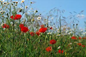 Kruiden en bloemen die bijdragen aan bestrijding van bladluis en trips