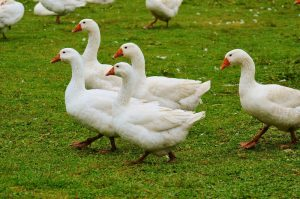 Boeren moeten nu toekijken hoe kraaien en ganzen hun gewassen opvreten