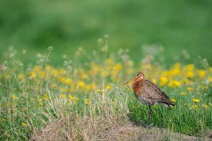 Weidevogelbeheer en landbouw: zoeken naar balans