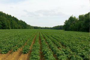 Aardappelsector vreest voor aardappelmoeheid door wijziging EU