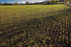 Waarom heeft wintertarwe in de herfst bladbemesting nodig?