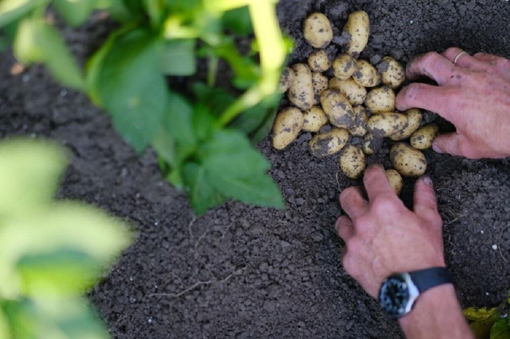 Online aardappelcalculator biedt afnemers duurzame rassen op maat